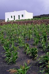 Cultures of corn in the Canary Islands Spain