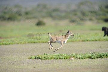 Young Bontebok running De Hoop reserve South Africa