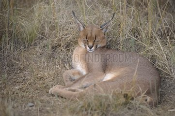 Caracal lying in the grass De Hoop reserve South Africa