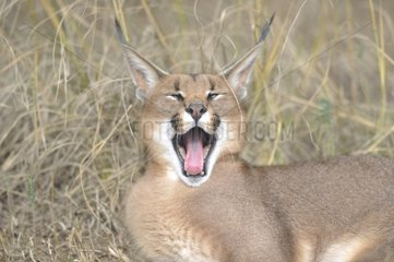 Caracal yawning in the grass De Hoop reserve South Africa