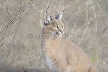 Caracal sitting in the grass De Hoop reserve South Africa
