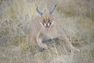 Caracal spitting in the grass De Hoop reserve South Africa