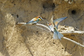 European Bee-eater offering prey to its female France