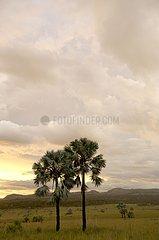 Bismarckia palm trees Mass of Isalo Madagascar
