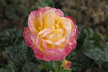Rose 'Pullman Orient Express' in a garden