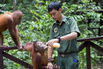 Young Orang-Utans on Platform - Sepilok Borneo Malaysia