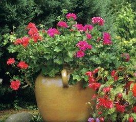 Pelargonium in bloom in a garden