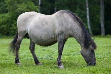 Tarpan female grazing Poland