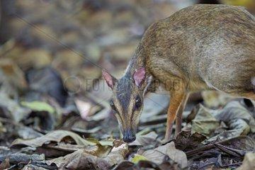 Lesser mouse deer undergrowth - Kinabalu Sabah Malaysia