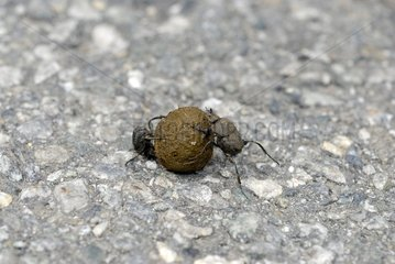 Couple of Scarab beetle and ball of excrement - Corsica