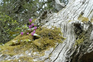 Wavy Cyclamen blossoms on a tree trunk - Corsica France