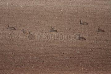 Group of Roe deers lying down in a field