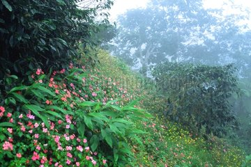Coffee in the Mist Blue Mountains Jamaica