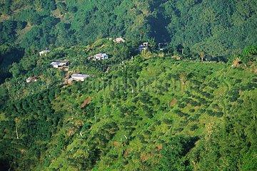 Coffee plantation Jamaica Blue Mountains