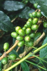 Coffee fruits on branch Jamaica Blue Mountains