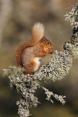 Red squirrel feeding on a dead branch at spring Scotland