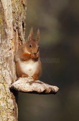 Red squirrel eating sitting on a fungus Scotland