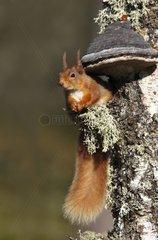 Red squirrel eating sitting near a fungus Scotland