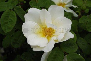 Rose-tree 'Nevada' in bloom in garden