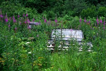 Old car in the middle of fireweed in Alaska