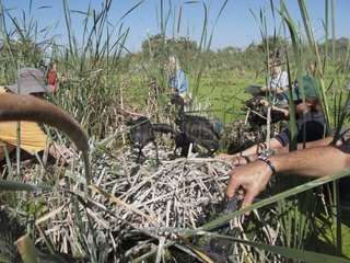 Naturalists studying the colony of Glossy Ibis Donana Spain