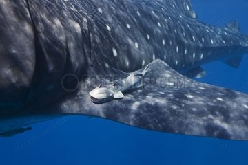 Remora fish attached to a fin of Whale Shark - Mexico
