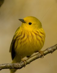 Yellow Warbler branched New York State USA