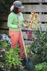 Plantation of a virginia creeper in a garden