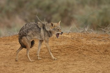African wolf with posture of intimidation Senegal