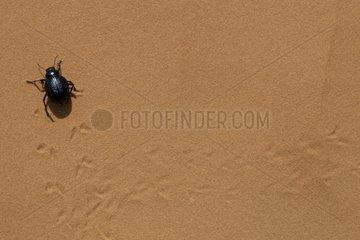 Beetle on the Grand Erg Oriental Sand Tunisia