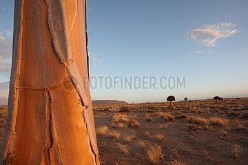 Quiver trees in the Namib desert Namibia