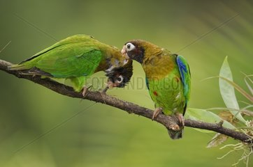 Couple of Brown-hooded Parrots on a branch in Costa Rica