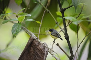 Common Tody-Flycatcher with materials for nest Costa Rica