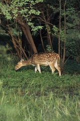 Axis deer grazing in the Keoladeo NP India
