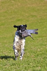 Spaniel reporting a pigeon killed by rifle - Basque Country