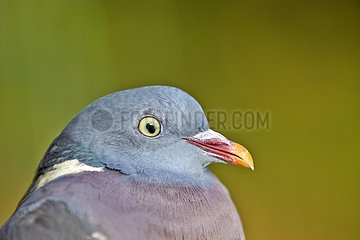 Portrait of wood pigeon - Basque Country France