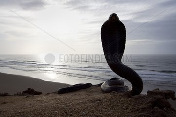 Egyptian Cobra surprised in the desert on the coast Morocco