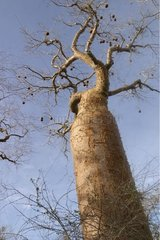 Baobab tree Ifaty Madagascar [AT]
