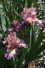 Iris 'Lovely dawn' in bloom in a garden