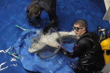 Veterinarians carrying a Sandbar shark to heal France