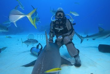 Grey Shark in a state of tonic immobility and diver Bahamas