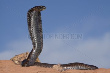 Egyptian Cobra watching in the desert Morocco