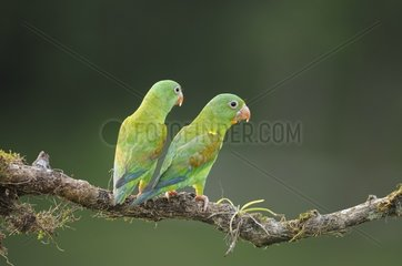Couple of Orange-chinned Parakeets on a branch in Costa Rica