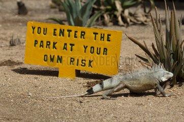 Common Green iguana on the island of Bonaire