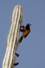 Venezuelan Troupial perched on a cactus Bonaire island