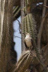 Tropical Mockingbird perched on a cactus Bonaire island