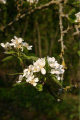 Flowers apple on a branch Brittany France