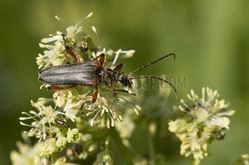 Longhorn Beetle on Common Meadow-Rue - Denmark