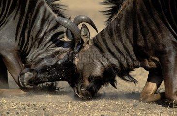 Gnous combattant Parc National Kruger RSA