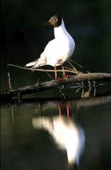 Black-headed gull on a branch